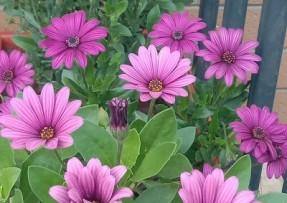 [南非万寿菊]南非万寿菊种子价格_图片_播种方法
