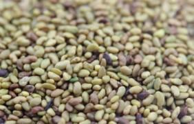 三得利紫花苜蓿种植简单吗?三得利紫