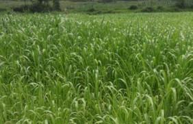 高丹草怎么种,正确的高丹草种植方法