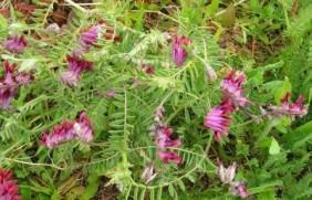 光叶紫花苕种植的方法,光叶紫花苕如