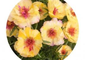 [太阳花]太阳花种子价格_图片_播种方法