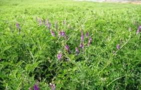 光叶紫花苕高产技巧,掌握方法促进生