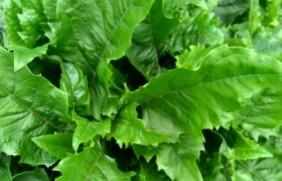 串叶松香怎么种植,串叶松香管理方法
