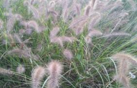 杂交狼尾草的种植方法,掌握方式很重