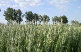 燕麦几月份种植,燕麦种子的价格贵吗