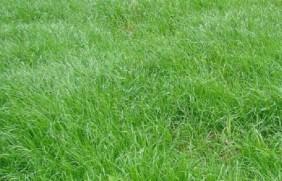 多年生黑麦草能生长几年,多年生黑麦