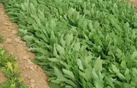 苦荬菜种植时间,苦荬菜的产量高吗