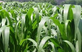 高丹草种子的种植时间,高丹草产量高