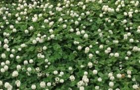 白三叶草种植方法,如何购买优质的种