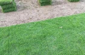 马尼拉草坪好吗?马尼拉会遇到病虫吗