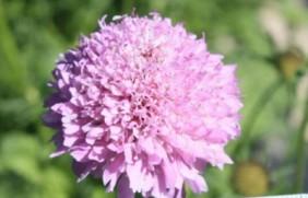 轮峰菊种子