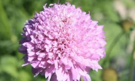 [轮峰菊]轮峰菊种子价格_图片_播种方法