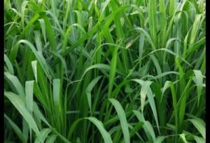 增润草种子