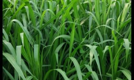 [增润草]增润草种子价格_图片_播种方法